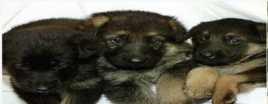 Police dog puppies recruits have the Ahhhh Factor!